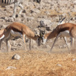 Springbok are fighting in etosha — Stock Photo