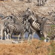 Zebras in Etosha Park — Stock Photo