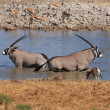 Stock Photo: Oryx Antelope