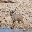 Kudu in Etosha — Photo