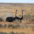 Ostrich Bird in Etosha — Stock Photo