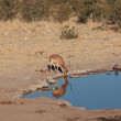 Impala in Etosha — Stock Photo
