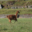 Stock Photo: Running Llama