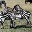 Zebras in Masai Mara — Stock Photo #29960091