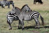 Zebry v masai mara — Stock fotografie