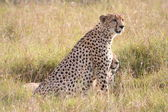 Cheetah in the Savanna — Stock Photo