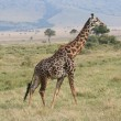 Giraffe in the Masai Mara — Stock Photo