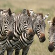 Zebras — Stock Photo #31057203