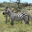 Zebras in Masai Mara — Stock Photo #31360349
