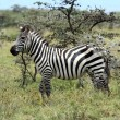 Zebras in the Masai Mara — Stock Photo