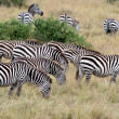 Zebras in Masai Mara — Stock Photo #31365985