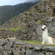 Llama in Machu Picchu — Stock Photo