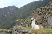Llama in Machu Picchu — Stock Photo