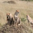 Cheetah in the Savannah — Stock Photo