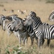 Zebras in Masai Mara — Stock Photo #32255609