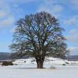 The old Oak from Herleshausen Germany — Stock Photo