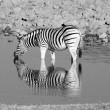 Drinking Zebra — Stock Photo