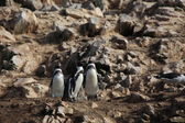 Penguins from Islas Ballestas Peru — Stockfoto