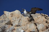 Mavi ayak boobies Islas ballestas — Stok fotoğraf
