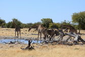 Giraffe in Etosha Park Namibia — Stock Photo