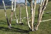 Birch Forest in Mongolia — Stock Photo