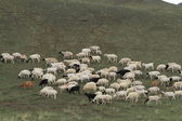 Sheep in the mongolian Steppe — Stock Photo