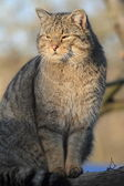 European Wild Cat or Forest Cat — Stock Photo