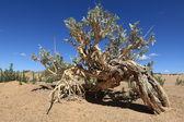 Plants in the Desert Gobi — Stock Photo