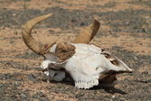 Skull of Cow and Horse — Foto Stock