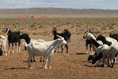 Kozy a ovce — Stock fotografie