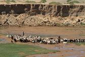 Capre e pecore — Foto Stock