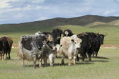 Yak in the mongolian Steppe — Stock fotografie