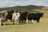 Yak in the mongolian Steppe — Stockfoto