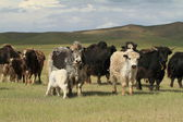 Yak in the mongolian Steppe — Stock Photo