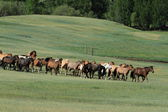 Wild Horses of Mongolia — Stock fotografie