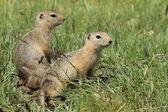 Mongolian Prairie Dogs — Stock Photo