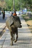 聖牛と水牛インドに — ストック写真