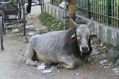 The holy Cow and Buffalo in India — Stock Photo