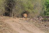 Indian Tiger in the National Park Bandhavgarh — Stock Photo