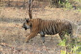 Indian Tiger in the National Park Bandhavgarh — Stock Photo