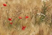 A Field of Barley and Poppies — Stock Photo
