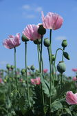 Poppy Meadow — Stock Photo