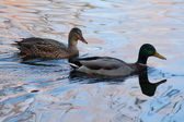 Two ducks in the pond — Stock Photo