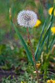 Dandelion in nature — Stock Photo