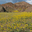 Stock Photo: Death Valley in Bloom