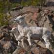 Stock Photo: Dall Sheep Ewe and Lamb