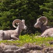 Bedded Bighorn Rams - Stock Photo