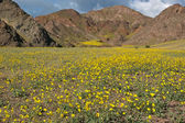 Death Valley in Bloom — Stock Photo