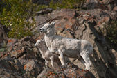 Dall Sheep Ewe and Lamb — Stock Photo