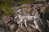 Dall koyunu koyun ve kuzu — Stok fotoğraf